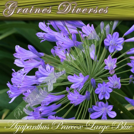 GRAINES AGAPANTHUS LARGE BLUE